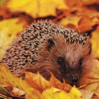 Lunch Servietten Hedgehog in Maple Leafs