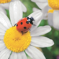 Lunch Servietten Ladybug on Daisy
