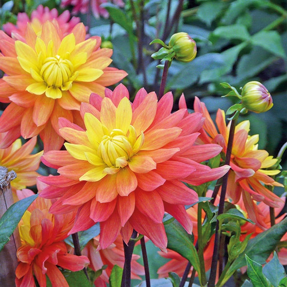 Lunch Servietten DAHLIA