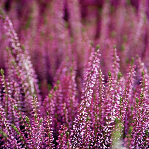 Everyday,  Blumen - Lavendel,  Sommer,  lunchservietten,  Lavendel
