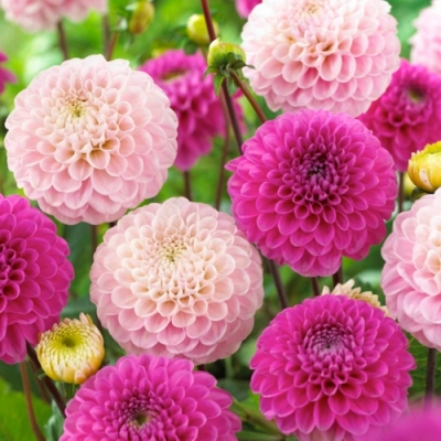 Lunch Servietten Dahlia Pink