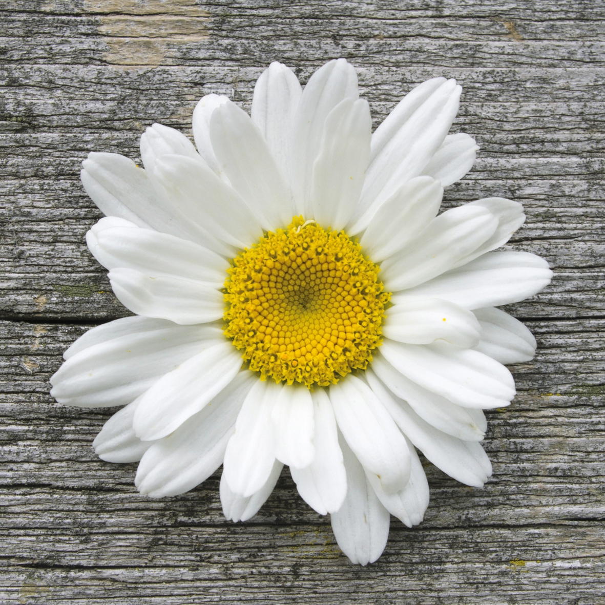 Lunch Servietten Daisy on Wood